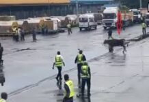Imported cow escapes from cargo hole at Lagos Airport